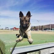 Cora K9 SAR dog NY German Shepherd