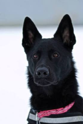 K9 Greta black GSD SAR dog