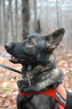 Otto- (Operational Air-Scent and Human Remains Detection Dog)